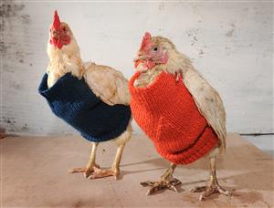 chicken jumpers